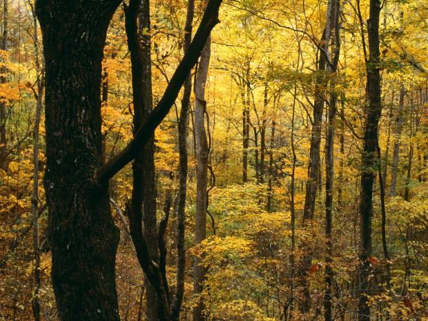 AutumnForestGreatSmokyMountainsNati