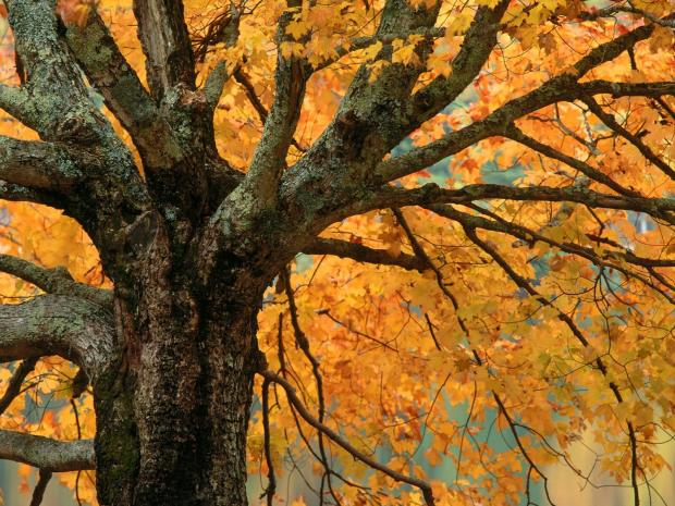 AutumnMapleBassLakeNorthCarolina