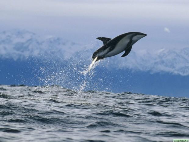 delfin_dolphin33