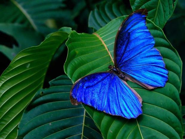 mariposa-azul-823742