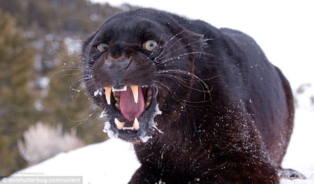 pantera-negra-montana