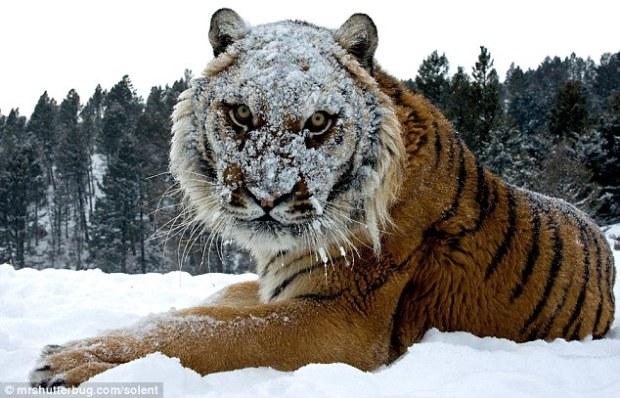 tigre-montana