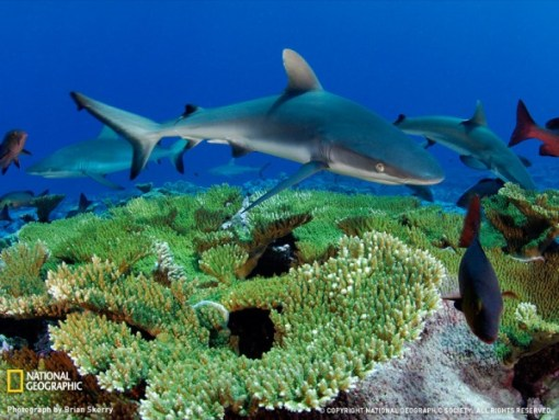 gray-reef-shark