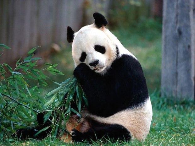 panda_-(1)