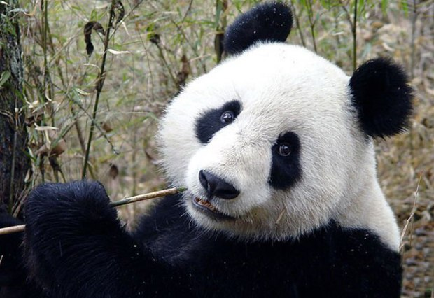 panda_-(11)
