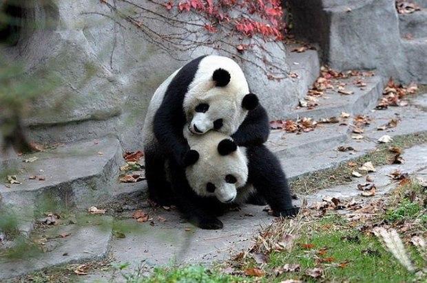 panda_-(13)
