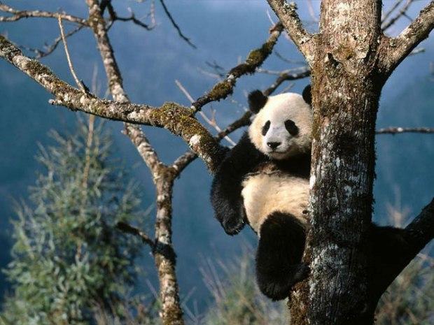 panda_-(14)