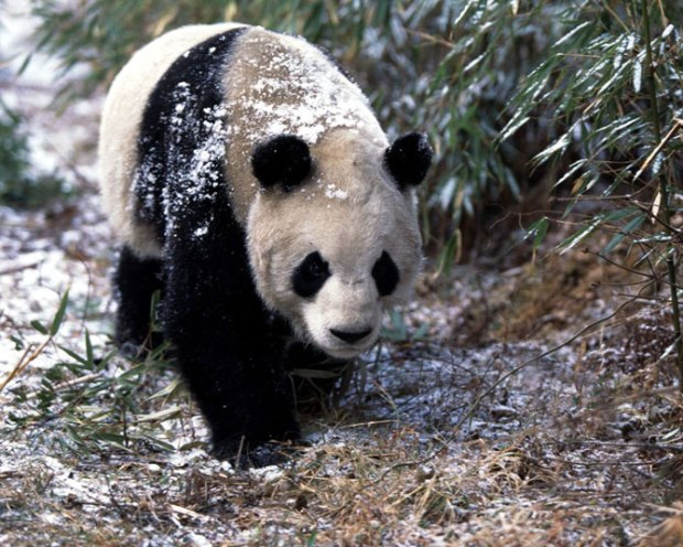 panda_-(15)