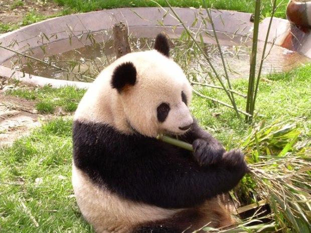 panda_-(18)
