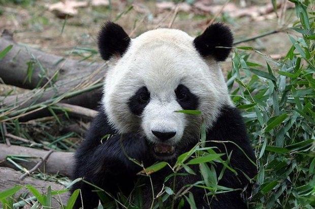panda_-(2)