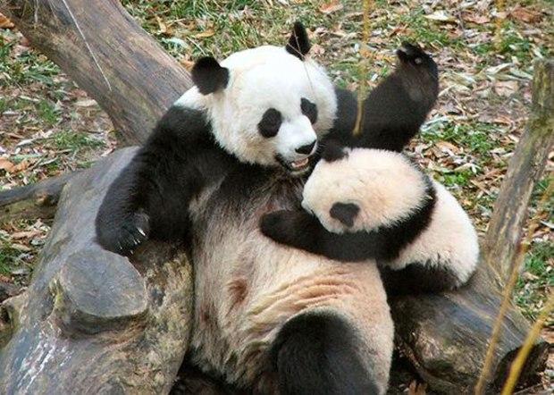 panda_-(20)