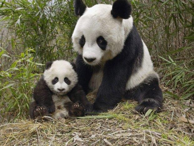 panda_-(21)