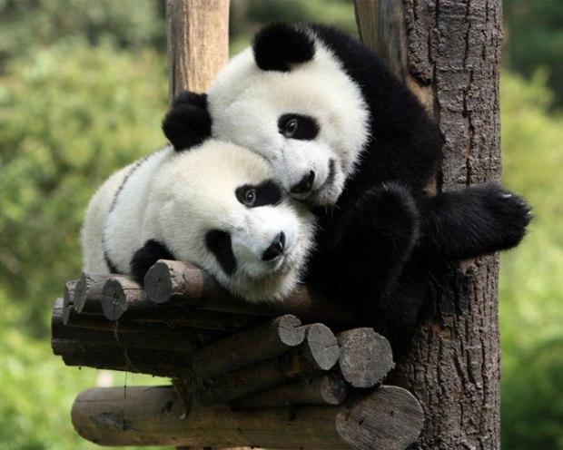 panda_-(23)