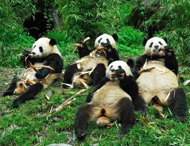 panda_-(24)