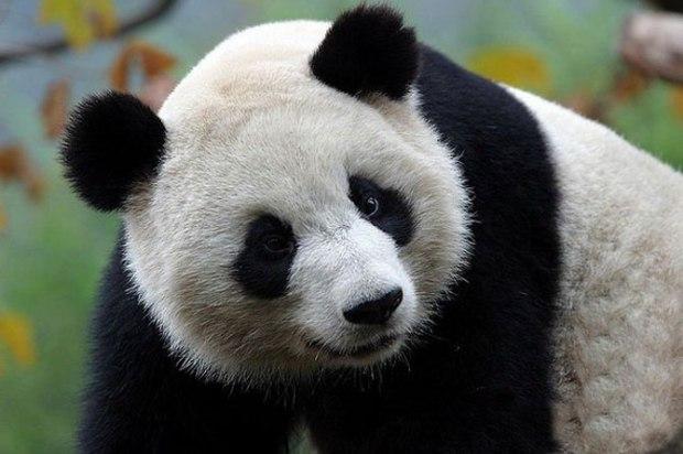 panda_-(3)