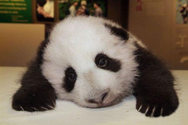 panda_-(5)
