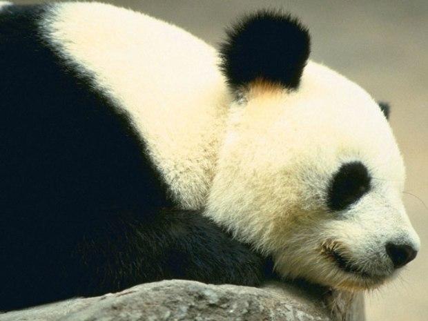 panda_-(6)