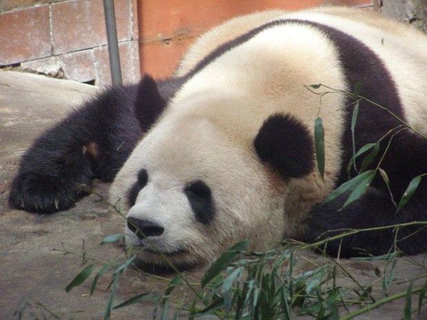 panda_-(7)
