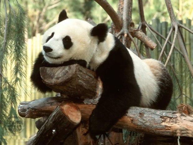 panda_-(8)