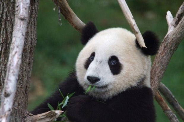 panda_-(9)