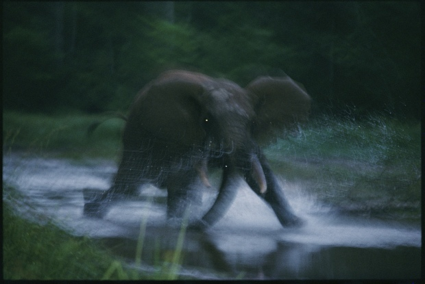 A female elephant charges toward the photographer near Dzanga Bai.