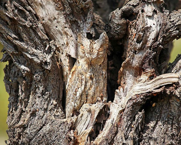 Owl_camouflage_nature_1