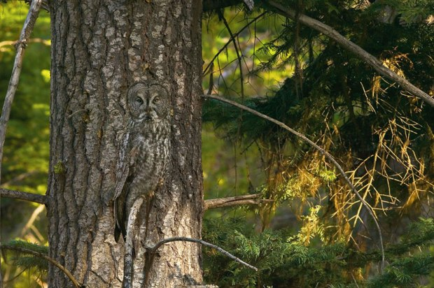 Owl_camouflage_nature_3