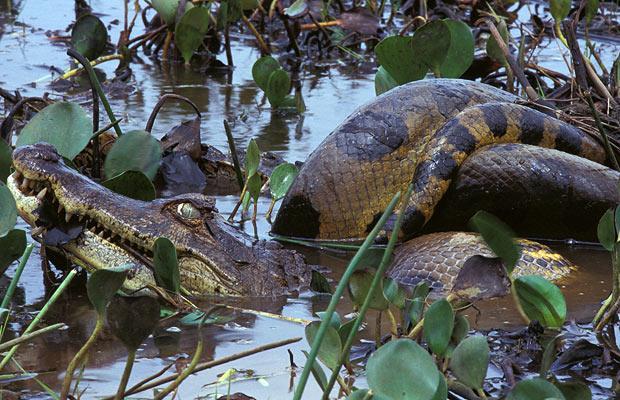 anaconda-alligator-cocodrilo-comiendo