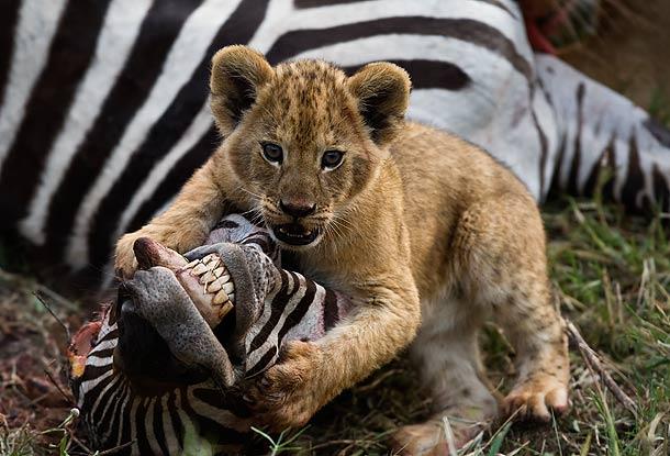 Lion-cub-standing-over-the-head-of-a-Zebra-carcass-Masai-Mara-Kenya_L9B9764-J