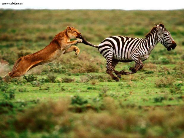 The_Attack_Lioness_and_Zebra