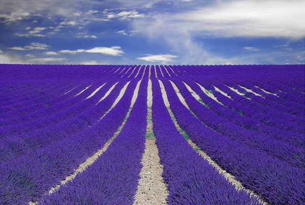 lavender-fields-provence-france-enpundit-12