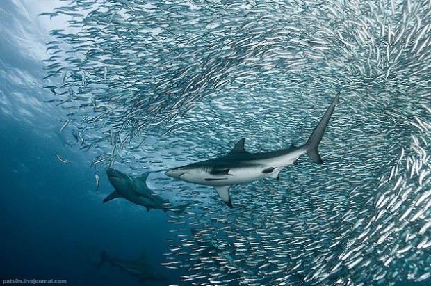 Maravillosas-fotografías-de-la-vida-marina-por-Alexander-Safonov-04