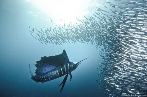 Maravillosas-fotografías-de-la-vida-marina-por-Alexander-Safonov-07