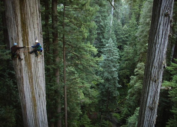750-years-old-sequoia-tree