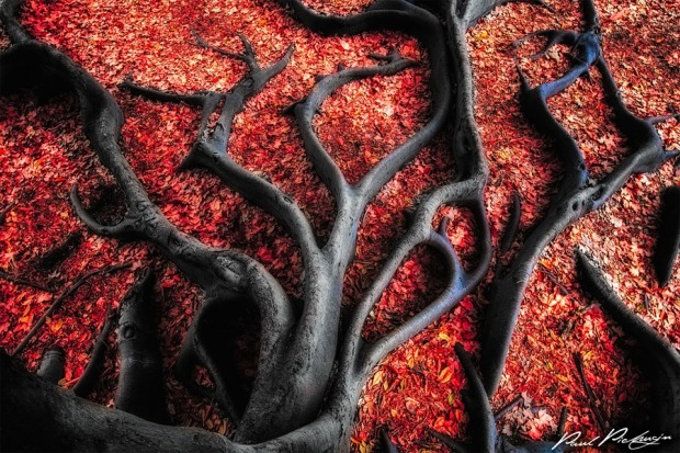 black-roots-on-red-leaves