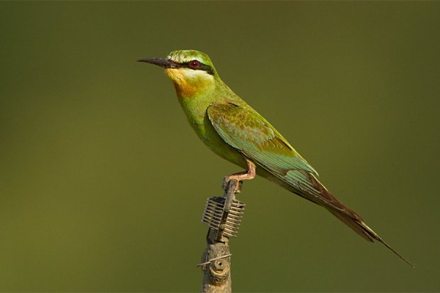 blue_cheeked_bee_eater_by_jamie_macarthur-d4rgltc