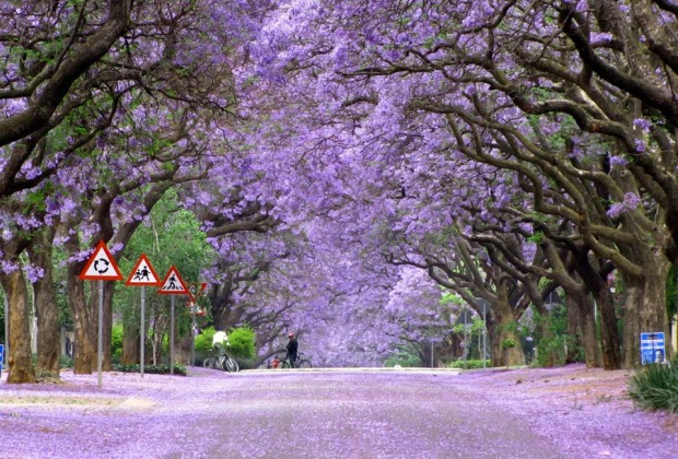 jacaranda-trees-in-bloom-south-africa