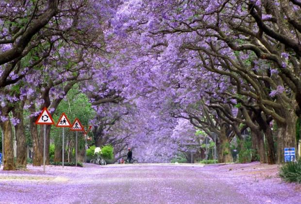 jacaranda-trees-in-bloom-south-africa