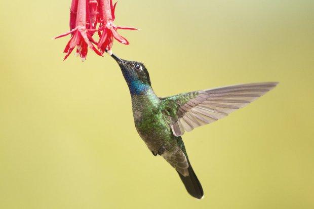 magnificent_hummingbird_by_jamie_macarthur-d4rcr0v