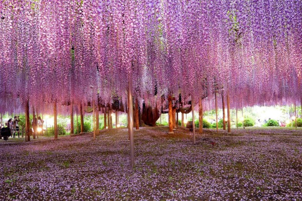 most-beautiful-wisteria-tree-in-the-world
