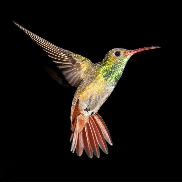 rufous_tailed_hummingbird_by_jamie_macarthur-d4rgtuo