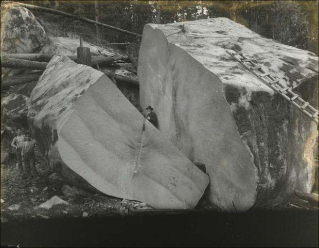 Fotos antiguas de la tala de árboles gigantes 02