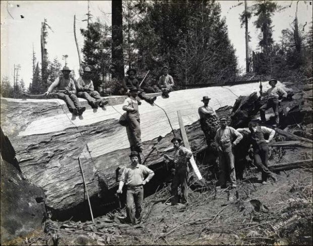 Fotos antiguas de la tala de árboles gigantes 03