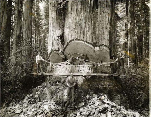 Fotos antiguas de la tala de árboles gigantes 04