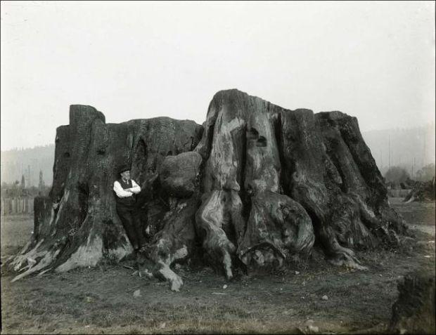 Fotos antiguas de la tala de árboles gigantes 06