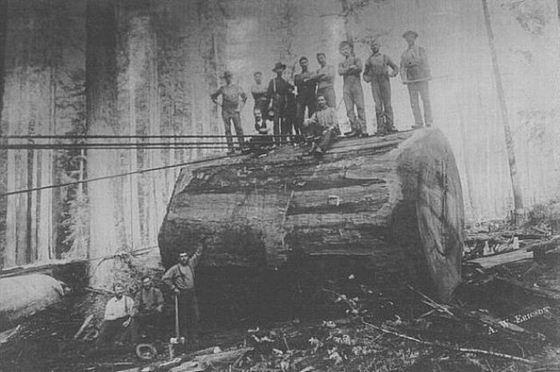 Fotos antiguas de la tala de árboles gigantes 07