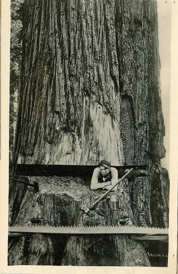 Fotos antiguas de la tala de árboles gigantes 10