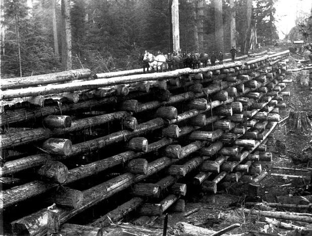 Fotos antiguas de la tala de árboles gigantes 11