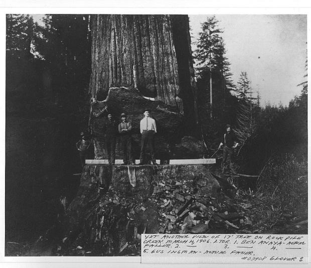 Fotos antiguas de la tala de árboles gigantes 12