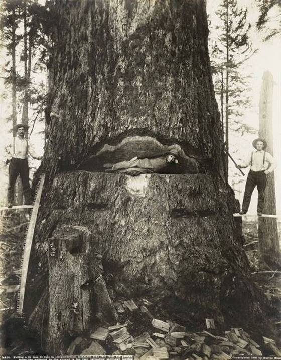 Fotos antiguas de la tala de árboles gigantes 16